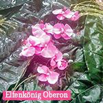 Elfenkönig Oberon